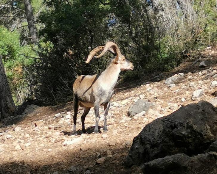 Gescin caza mayor en España Macho montés